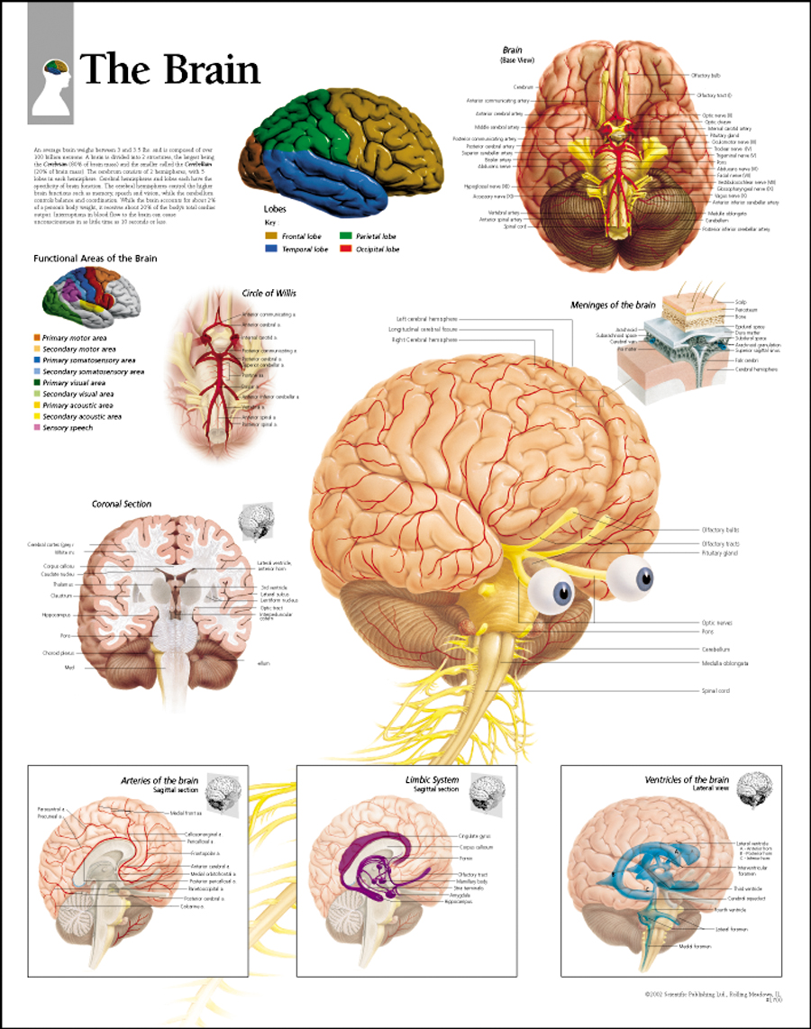Brain Parts and Their Functions